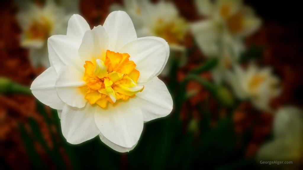 Spring Daffodil, by George Alger