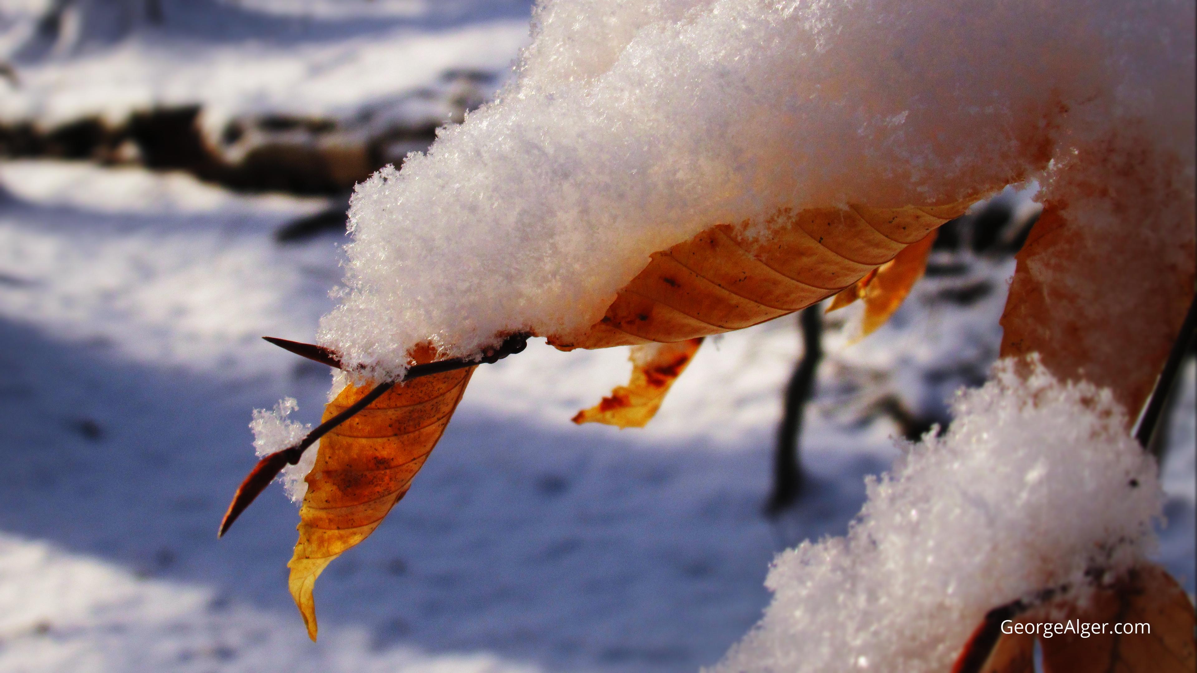 American Beech Snow